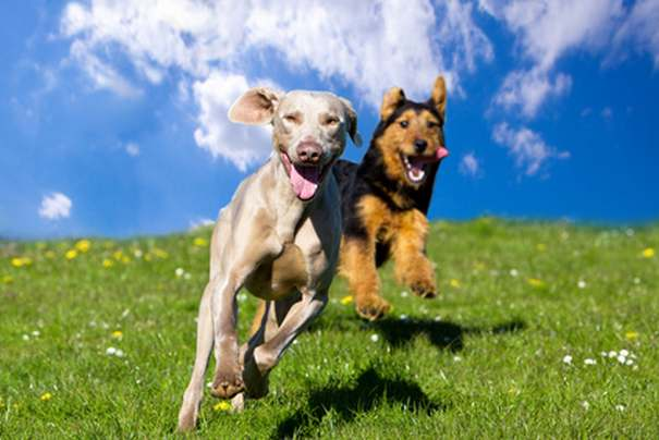 Two happy dogs running towards viewer